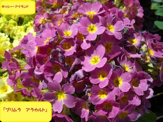プリムラ アラカルト(CG4062).JPG