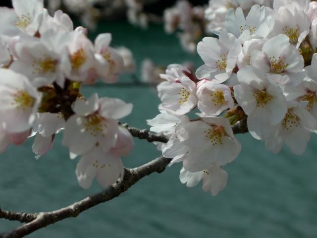 桜の花びらたち-4(CG2600).JPG