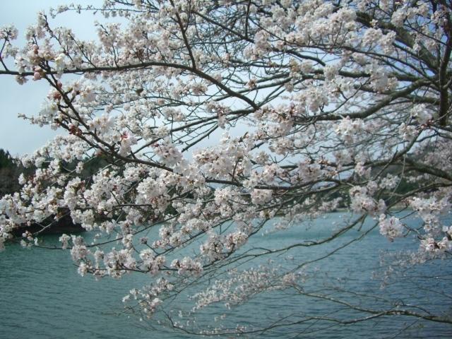 桜並木-1(CG2601).JPG