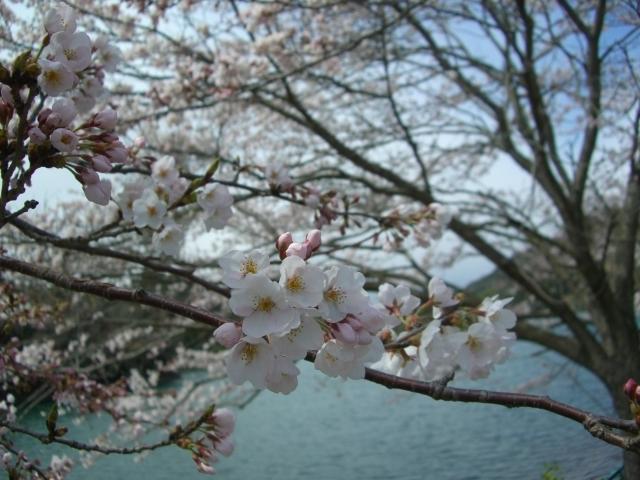 桜並木接写-2(CG2603).JPG