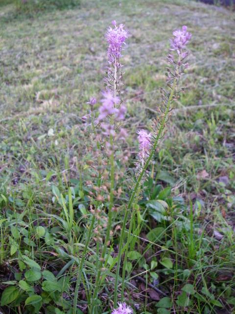 紫の花(RG3959).JPG