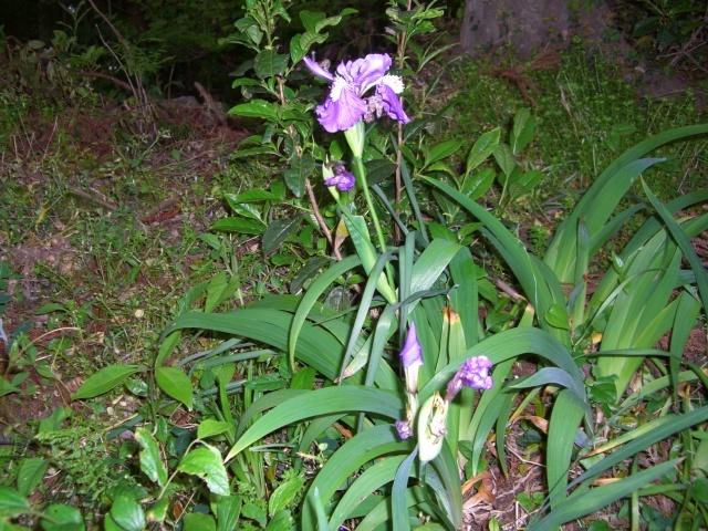 紫ハナショウブ(CG2639).JPG