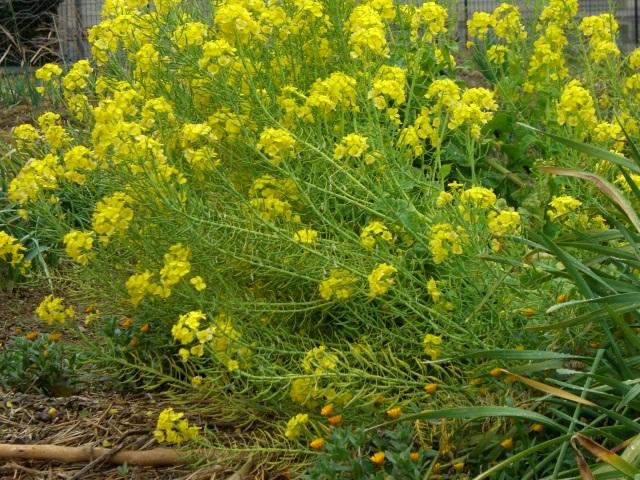菜の花畑(CG2545).JPG
